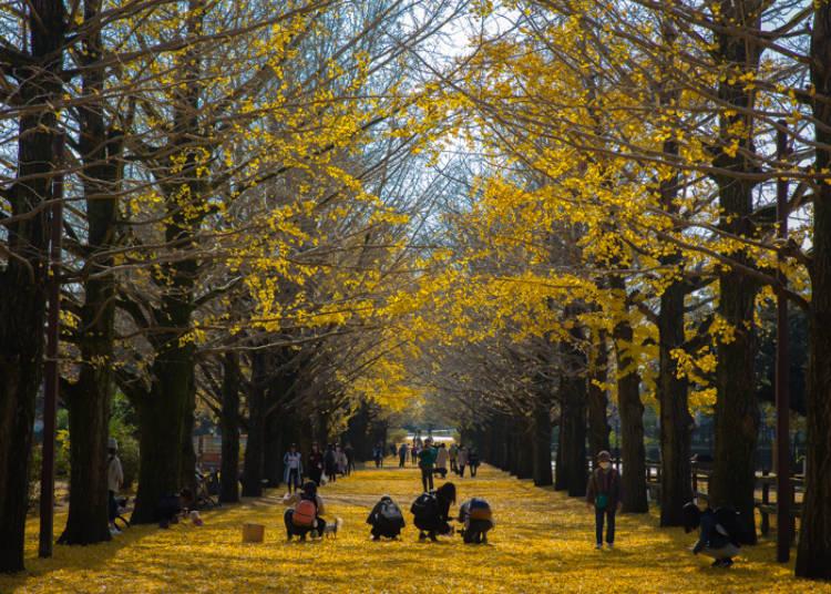 金色に輝く落ち葉が造るカーペット