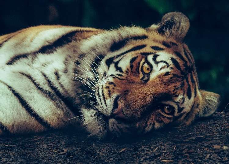 Chinese Zodiac in Japan: 2019 is the Year of the Pig!