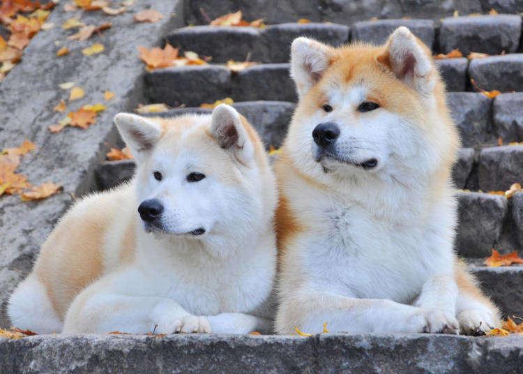モフモフがたまらない!「秋田犬」の外国人ファンが急増している理由