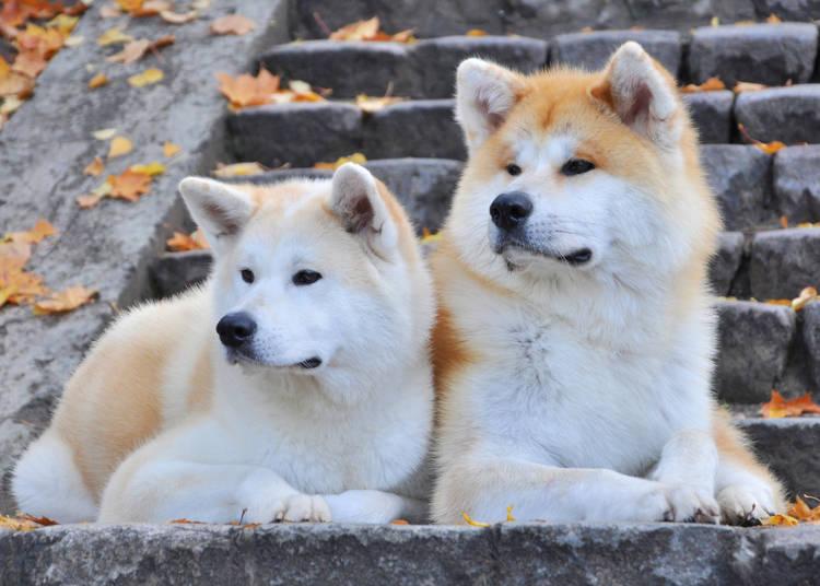 そもそも秋田犬ってどんな犬?