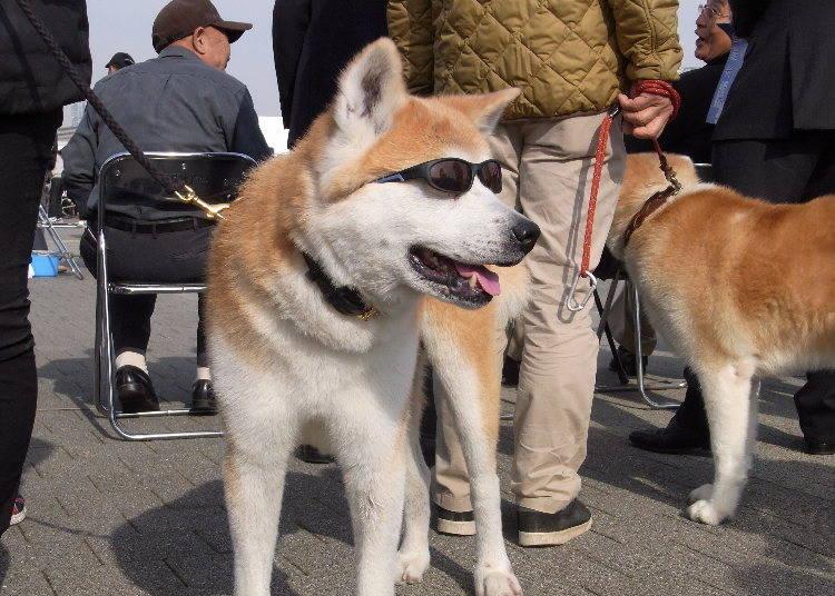 秋田犬を見に来る外国人が多いワケ