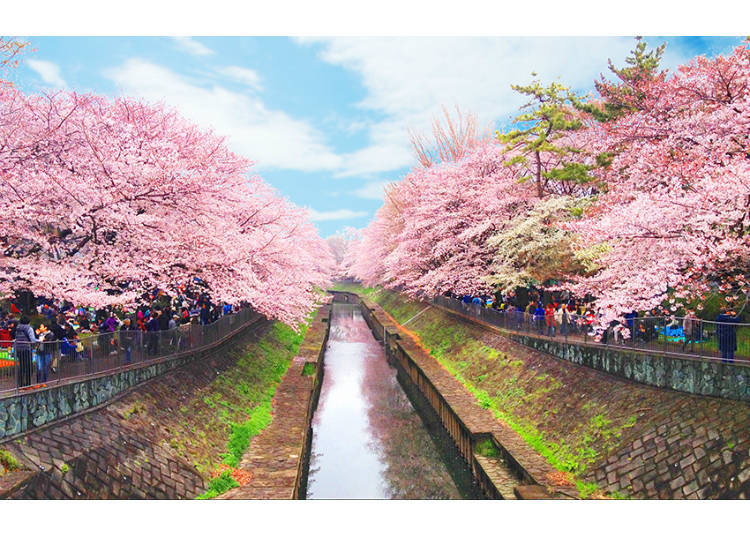 The Cherry Blossom Tunnel of Zenpukuji River, a Hidden Sight of West Tokyo