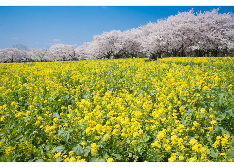 Experience the Beautiful Collaboration of Cherry and Rape Blossoms at the Showa Memorial Park