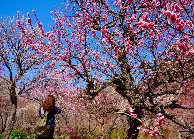 Japan in Bloom: Japanese Plum Blossoms - Sakura's Winter Cousins