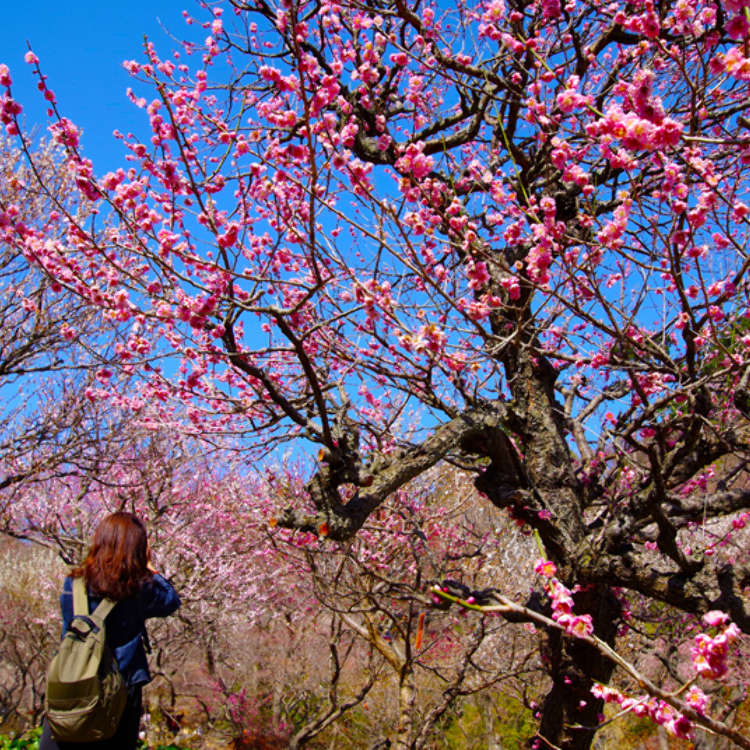 Japan in Bloom: Japanese Plum Blossoms - Sakura's Winter Cousins