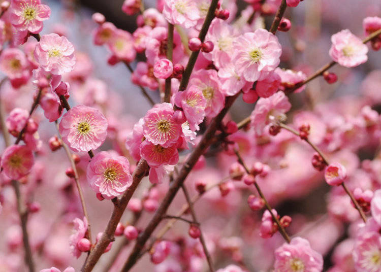What do plum blossoms look like?