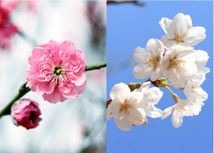 Baika vs. Sakura: How to Tell Plum Blossoms from Cherry Blossoms