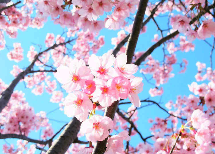 Sunlight Sakura – An Ambassador of Peace