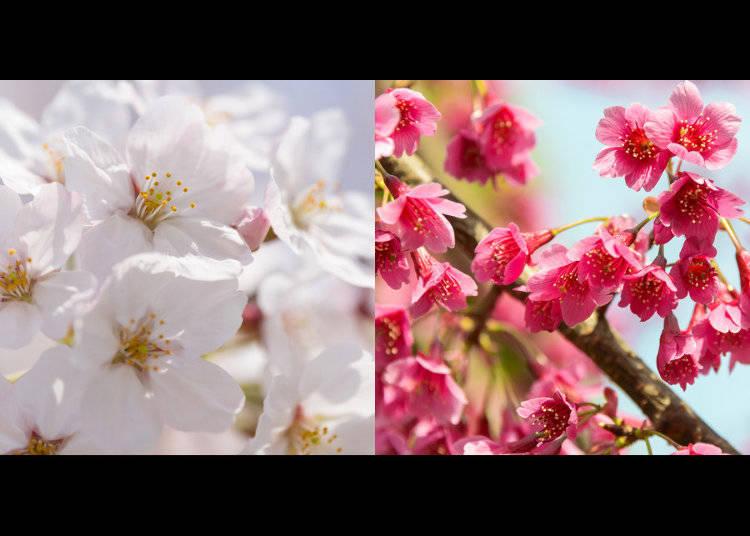 生命力に満ちた桜の新品種開発への挑戦