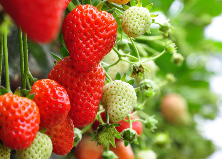 When Can Japanese Strawberries be Picked?