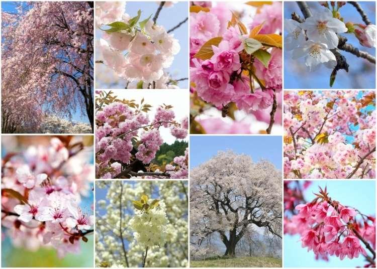 日本の桜10品種