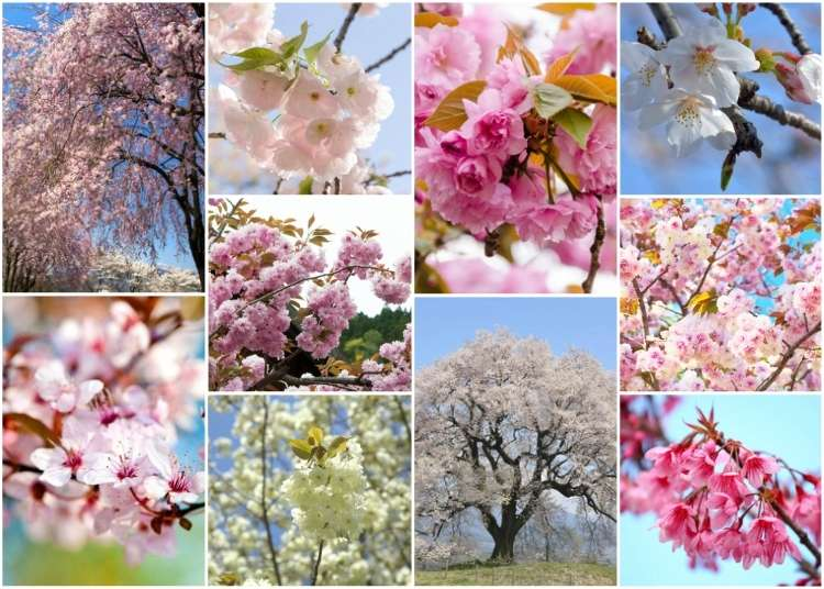 10 Cherry Blossom Varieties in Japan