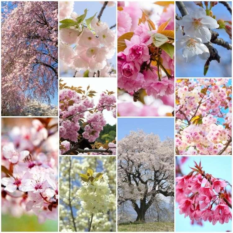 【日本賞櫻資訊】櫻花品種知多少,認識日本櫻花的十個品種