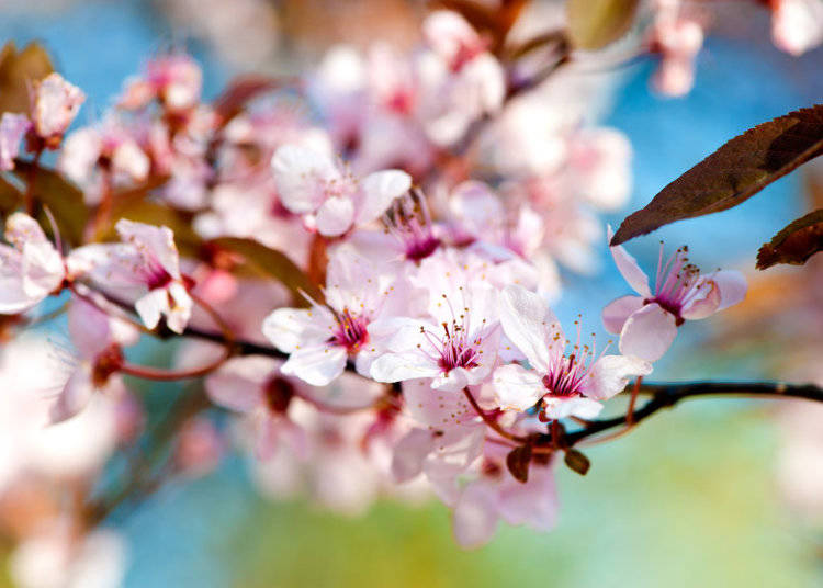 10 cherry blossom varieties in japan youll love to see live yamazakura takes the top spot among the most commonly viewed wild cherry blossoms these sakura also known as hill cherry can often be spotted among mightylinksfo