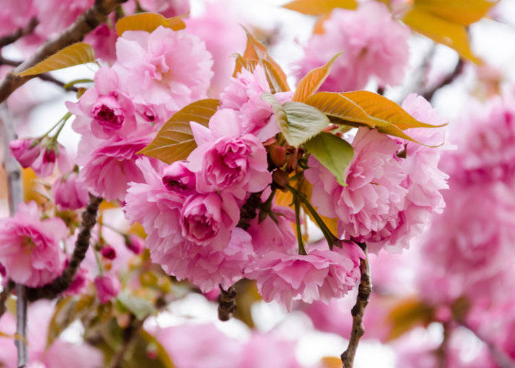 10 cherry blossom varieties in japan youll love to see live kanzan flowers fall under the classification of yaezakura or double blossom sakura which includes any sakura with more than five petals per blossom mightylinksfo