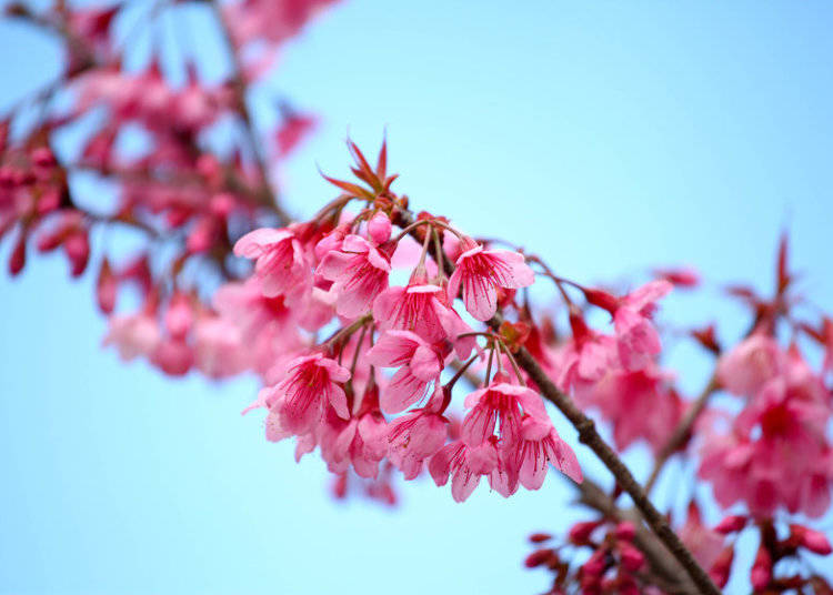Cherry Blossoms Aren T Limited To Mainland An The Warm Southern Island Of Okinawa Has Some Special Sakura Its Own Kanhizakura May Not Look Like
