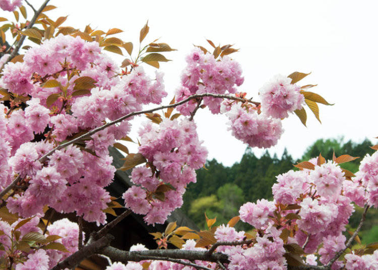 10 cherry blossom varieties in japan youll love to see live the name of this flower translates to chrysanthemum cherry blossom due to its resemblance to japans beloved kiku chrysanthemum flower mightylinksfo