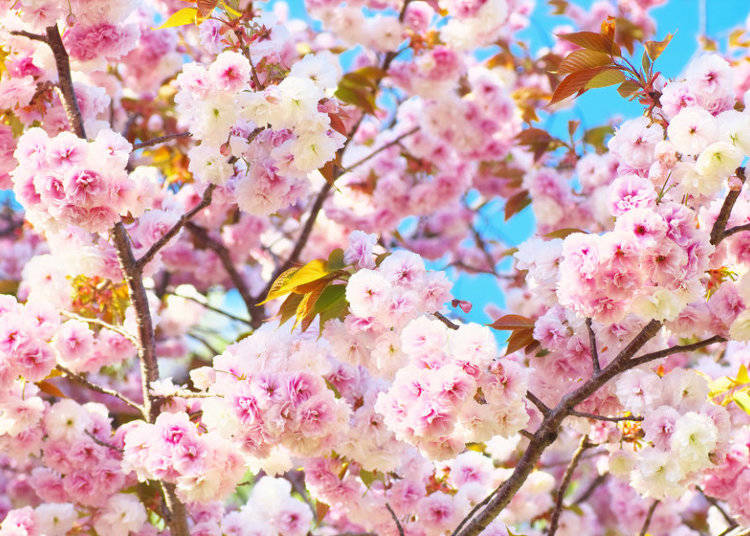 10 cherry blossom varieties in japan youll love to see live the name of this unusual sakura has an even more unusual origin in japanese the literal translation of fugenzou is samantabhadra elephant mightylinksfo