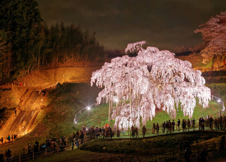 Celebrated for Centuries: The 5 Great Sakura Trees of Japan