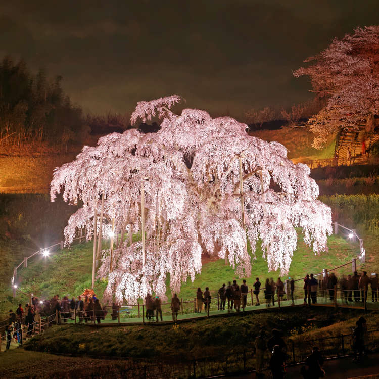The Five Great Sakura Trees of Japan