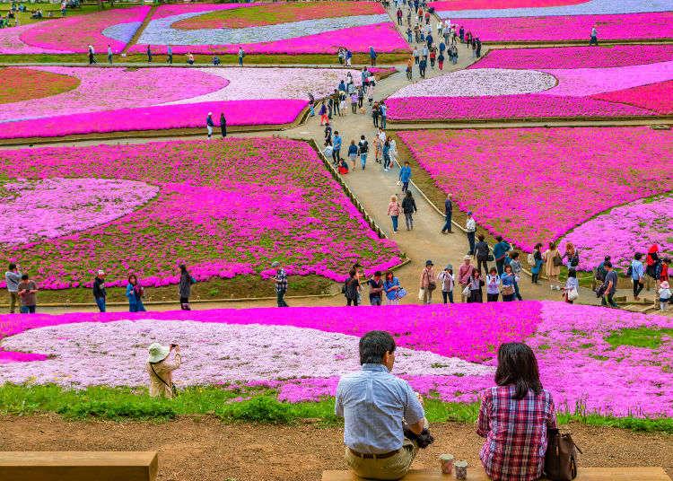 잔디벚꽃(시바자쿠라): 언덕이 옅은 분홍색으로 물드는 계절