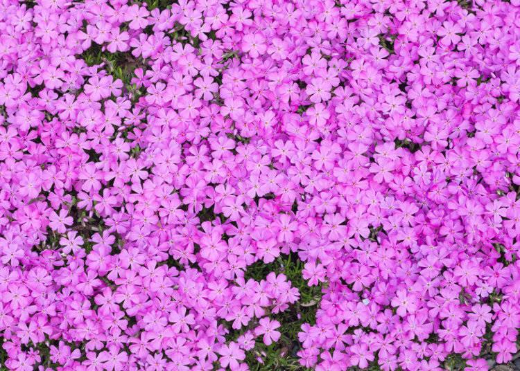 芝桜の概要と見頃