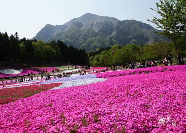 羊山公園:埼玉は芝桜ワンダーランド!
