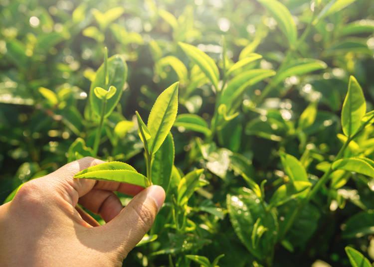 地域により異なるお茶の種類