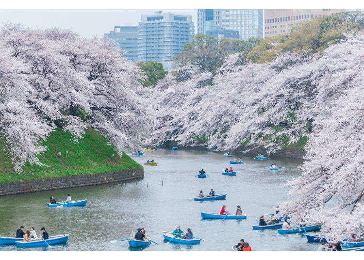 東京的白雪櫻、一本櫻、水鏡櫻、粉紅隧道櫻,你看過了嗎?