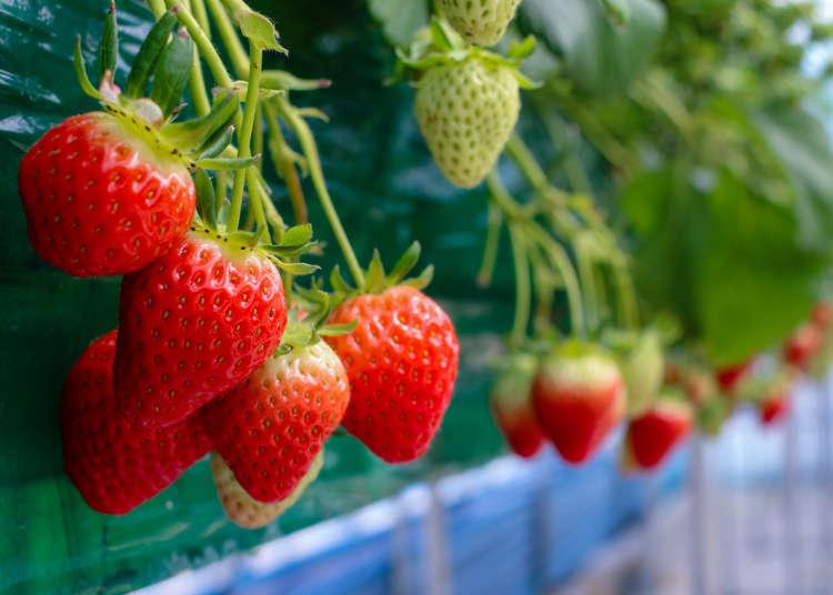 10種草莓吃到飽!東京當日往返的採草莓之旅