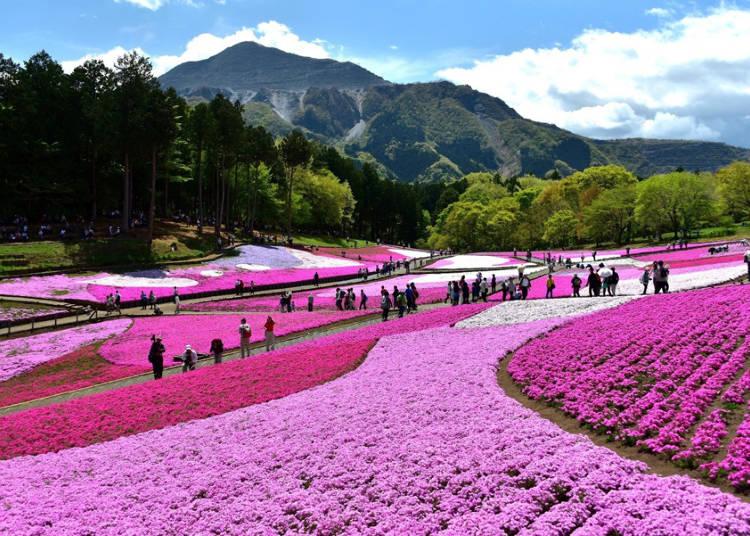 【秩父観光1】4~5月が見ごろの芝桜の丘で一面ピンクの花畑を楽しむ/羊山公園