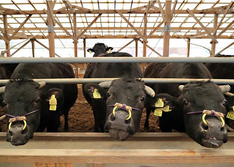 黑毛和牛的起源 兵庫縣「但馬牛」