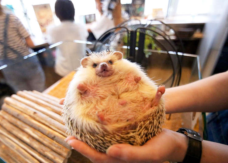 Looking for a Different Kind of Animal Café in Tokyo? Try Hedgehogs!