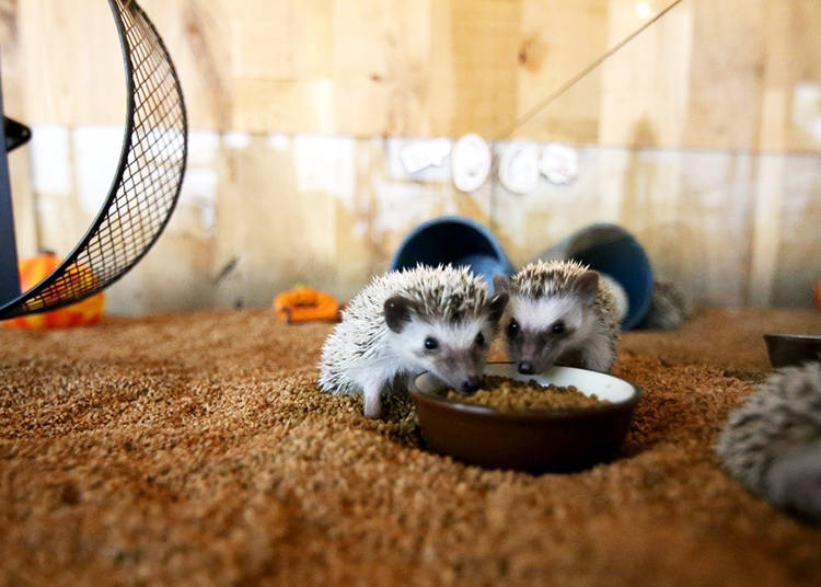 A Special Café for Hedgehogs
