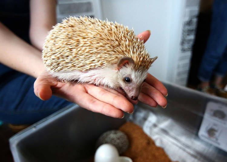 Hedgehog Café Do's and Don'ts