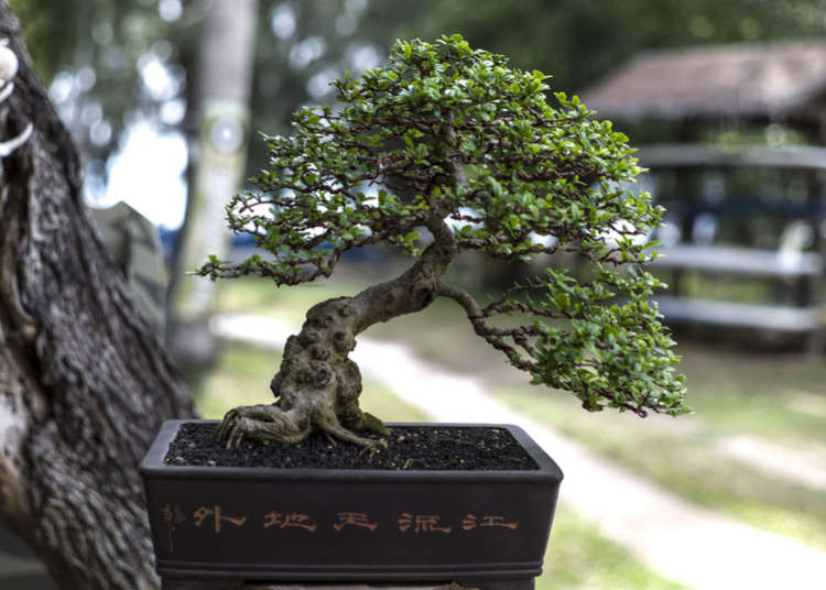 The beauty and mystique of Japanese Bonsai