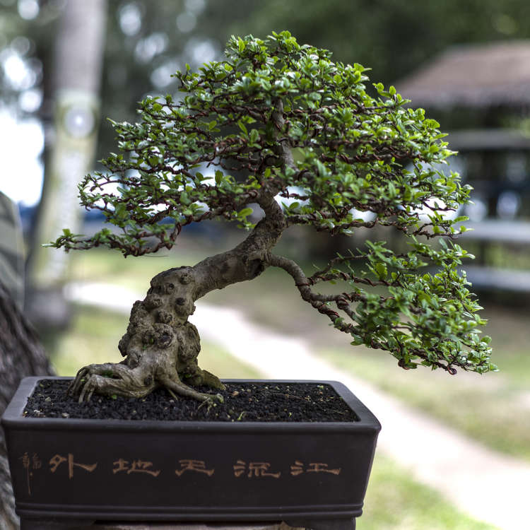 Culture of Japanese Bonsai: The Beauty and Mystique of Miniature Trees