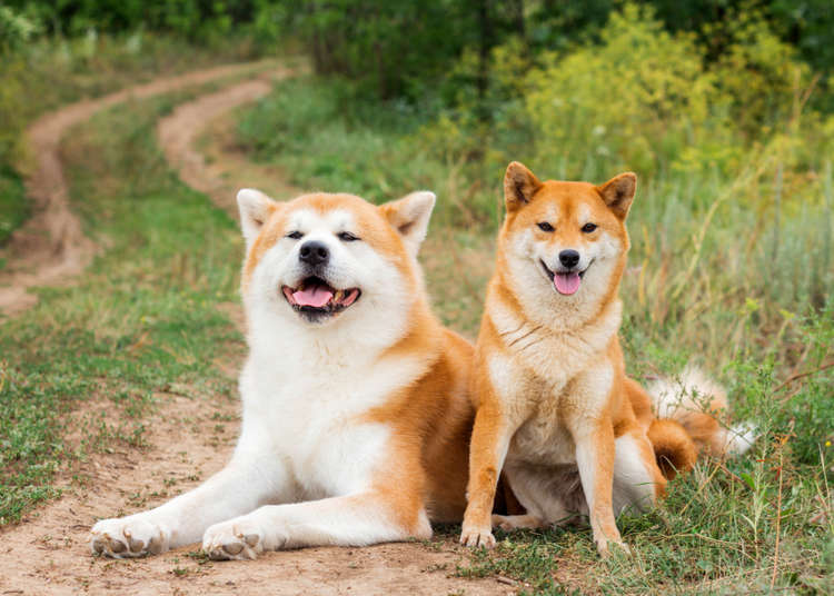 6 Japanese Dog Breeds That Will Make Your Heart Melt Live Japan