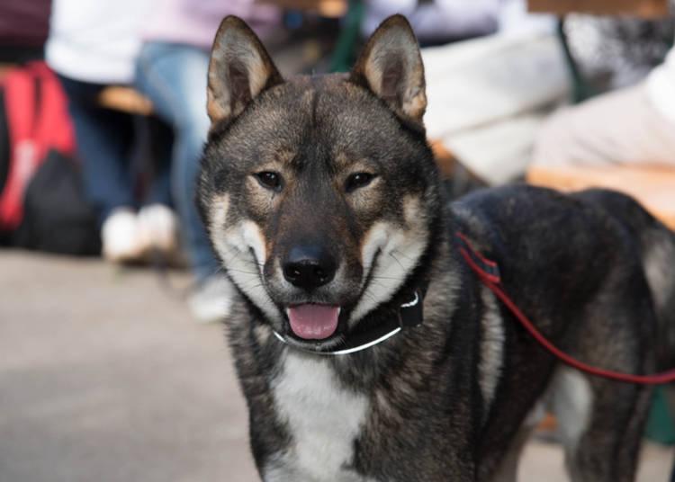 6 Japanese Dog Breeds That Will Make Your Heart Melt Live Japan