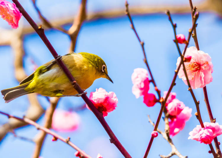 What flowers bloom in Spring 2019 in Japan