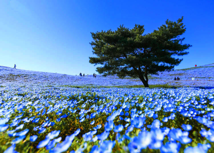 Where to go to see flowers in japan during any season live japan nemophila flowers nemophila season in japan april may this is another low growing plant which blooms from april to may the color of which is associated mightylinksfo