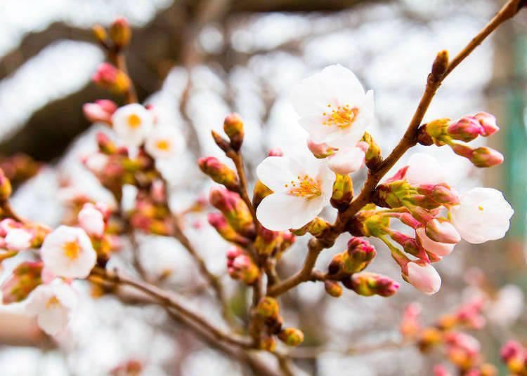 2018年 東京各個主要城市的櫻花開花預報