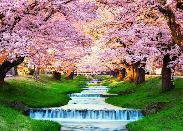 日本北部櫻花開花時間較晚