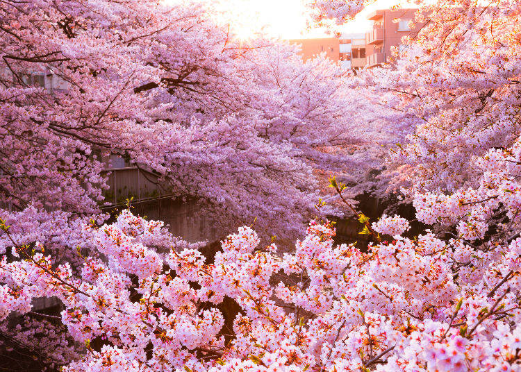 Q1. Why are there so many cherry blossom trees in Japan?