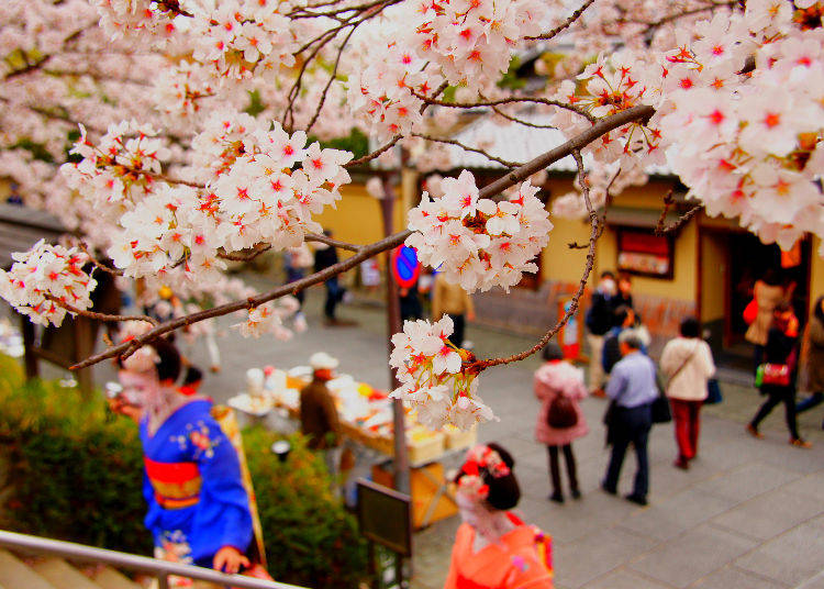 Q4. When do the cherry blossoms bloom in Japan?