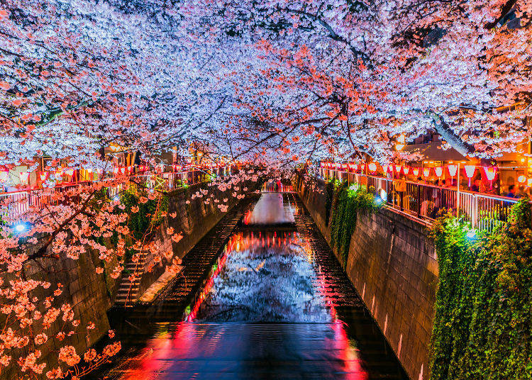 Q5. Any tips for seeing cherry blossoms at night?