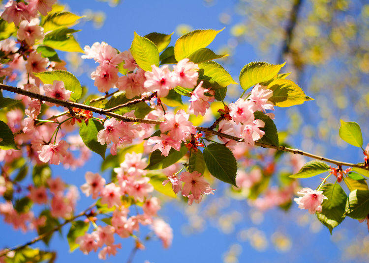 Q6. Can I still enjoy cherry the blossoms ever after the leaves have appeared?