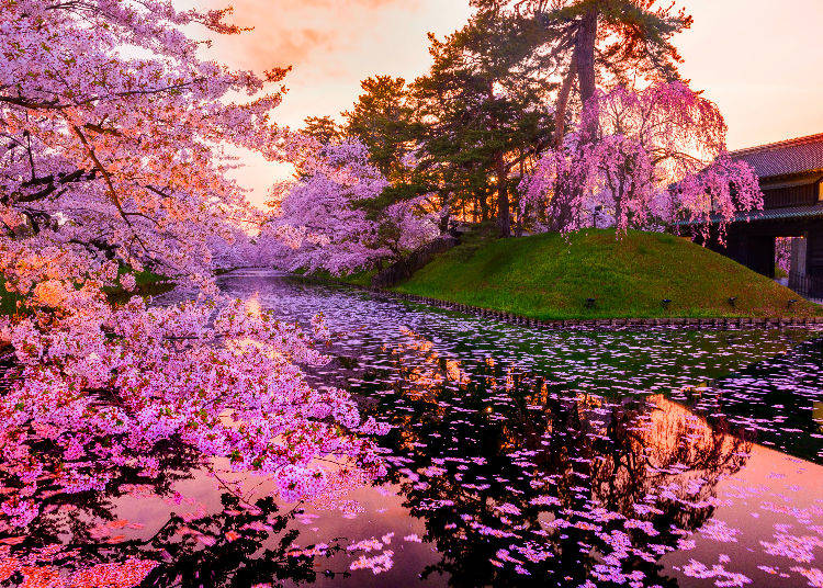 Q7. Where are cherry blossom trees found in Japan? When should I go? What can I expect to see there?
