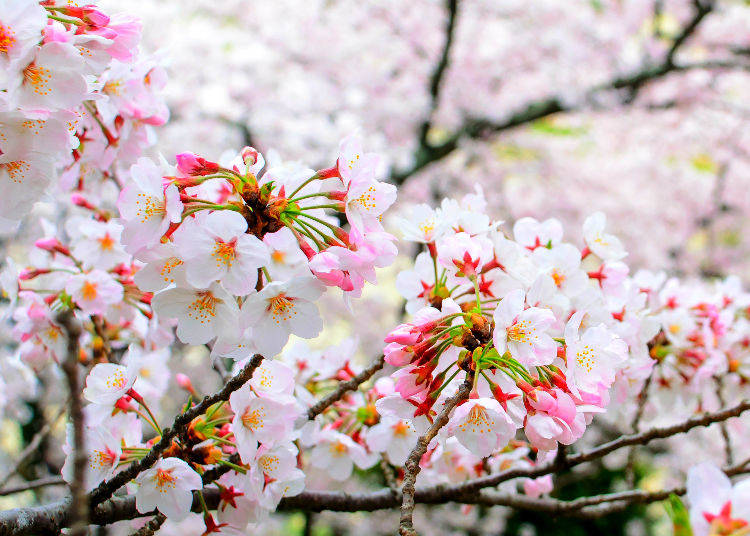 Cherry Blossoms Faq The Ultimate Guide To Sakura Trees In Japan