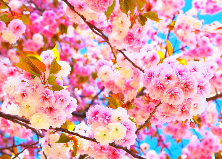 cherry blossoms faq the ultimate guide to sakura trees live